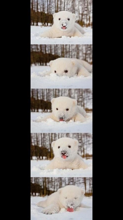 snow,polar bear