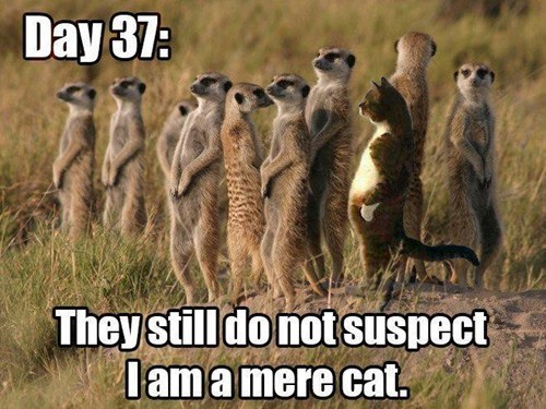 Meerkats Aren't Terribly Observant