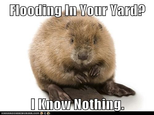 beaver,flooding,plausible deniability