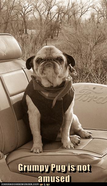 Grumpy Pug is not amused
