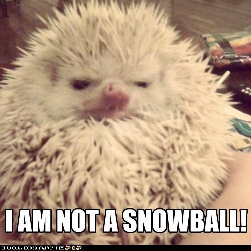 hedgehog,snowball