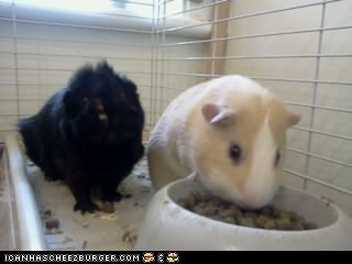 My Guinea Pigs
