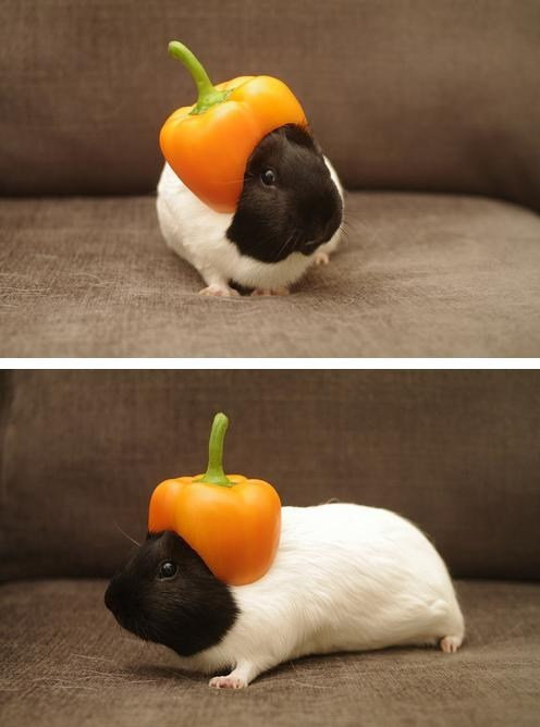 pepper,guinea pig,hat