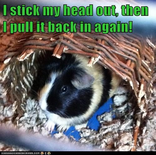I stick my head out, then I pull it back in again!