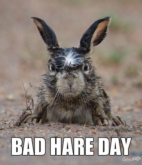 hare,bad hair day