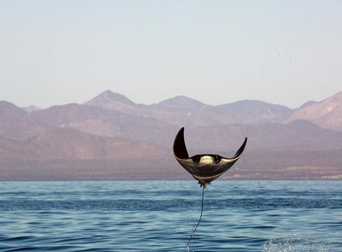 Fly Manta Ray, Fly!