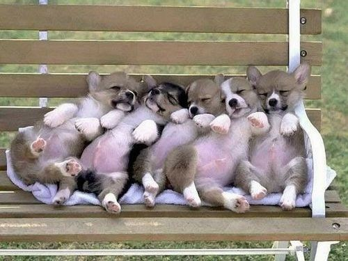 A Very Sleepy Corgi Litter