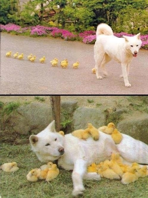 following,ducklings,dogs