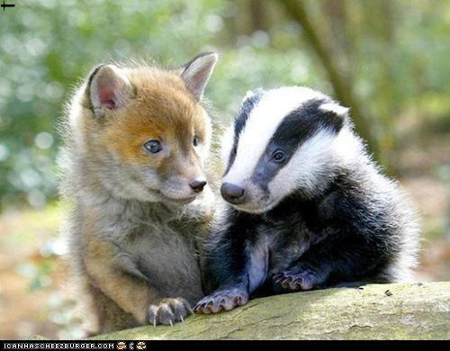Red Fox pup and English Badger