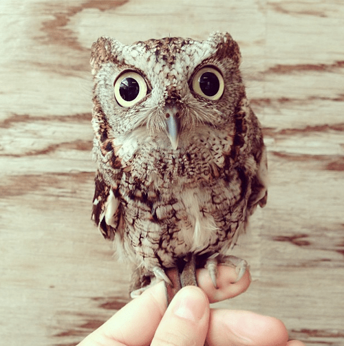 Gizmo the Screech Owl