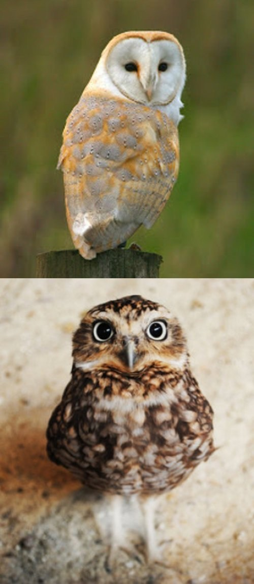 owls,squee spree