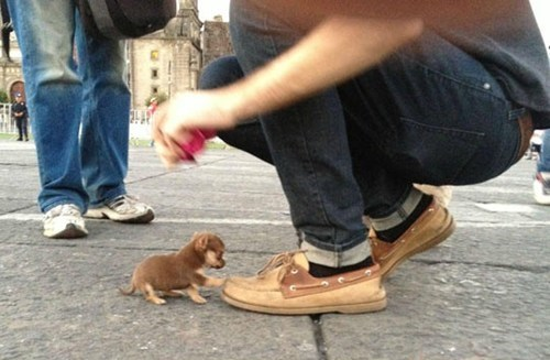 Pocket Sized Pup