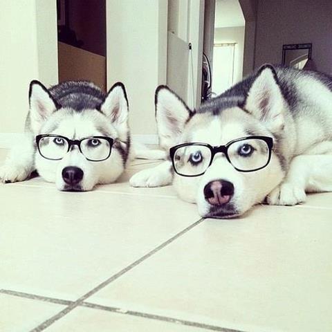 glasses,hipster,huskies