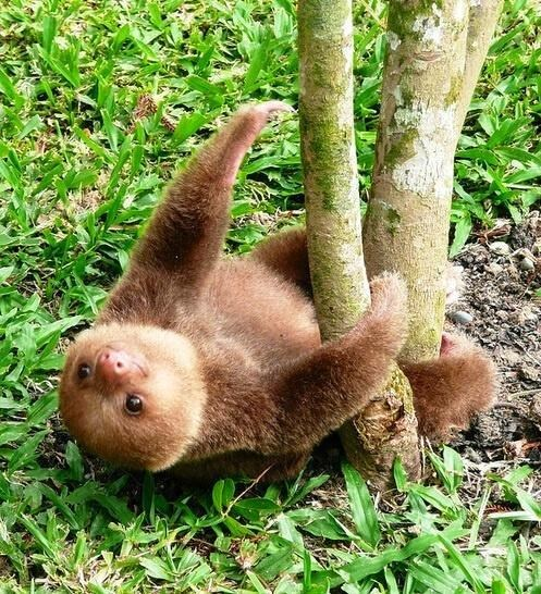A Baby Sloth Contemplates His Climb