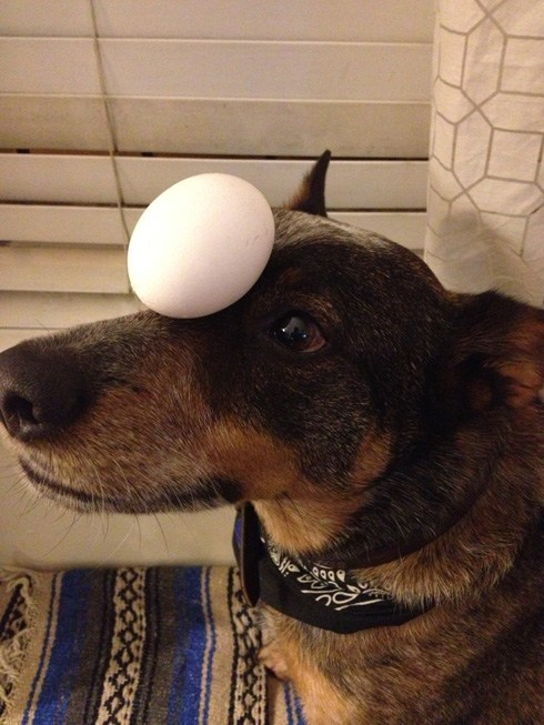 This Dog Is an Expert at Balancing Things on His Head