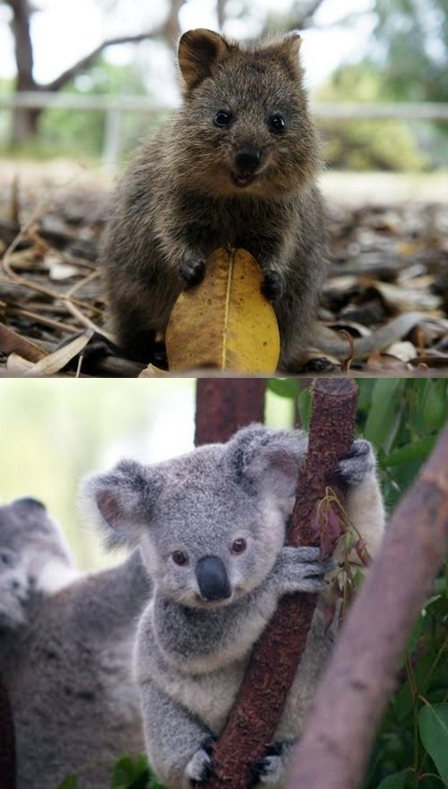 Squee Spree: Quokka vs. Koala