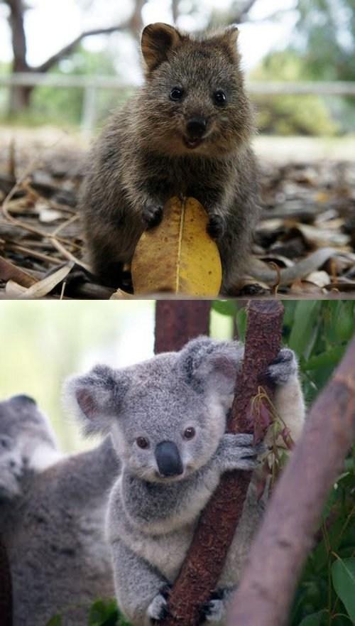 Squee Spree: Quokka vs. Koala