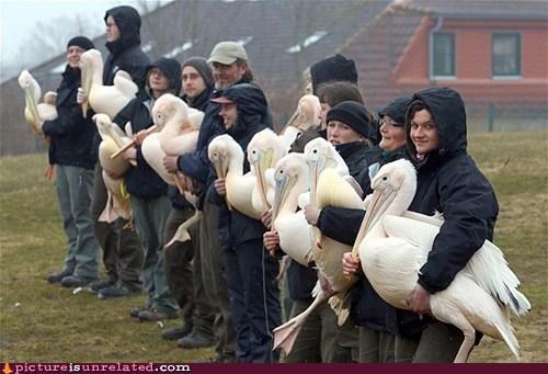 groups,wtf,pelicans,birds