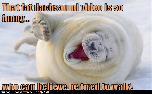 That fat dachsaund video is so funny...  who can believe he tired to walk!