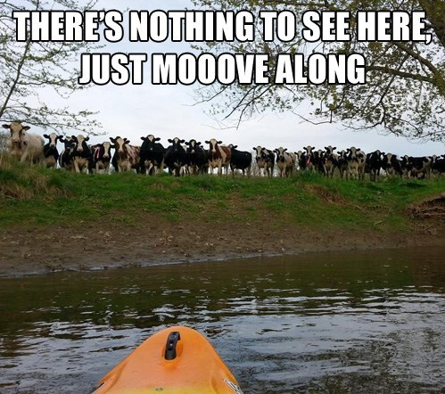 river,kayak,cows
