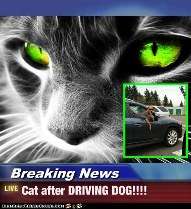 Breaking News - Cat after DRIVING DOG!!!!