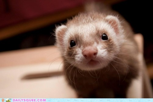 Tickles the Ferret!