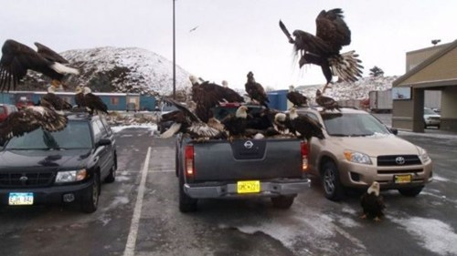 These Patriotic Eagles do Not Appreciate Import Vehicles