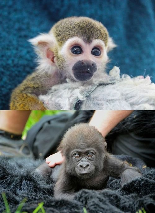 monkey,primates,squee spree,gorilla