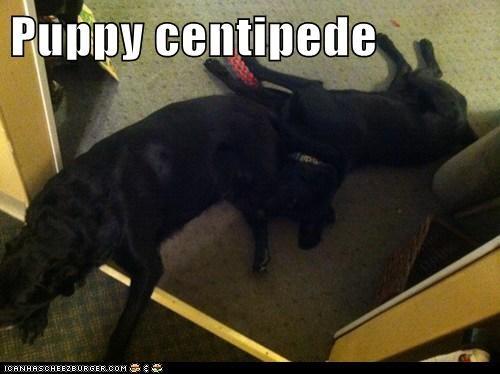 Puppy centipede