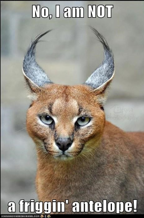 No, I am NOT  a friggin' antelope!