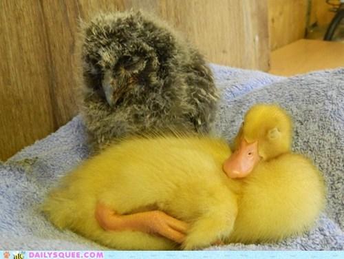 chicks,ducks,friends,owls,nap