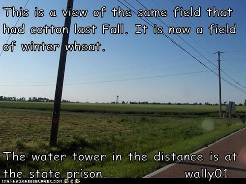 This is a view of the same field that had cotton last Fall. It is now a field of winter wheat.  The water tower in the distance is at the state prison.              wally01