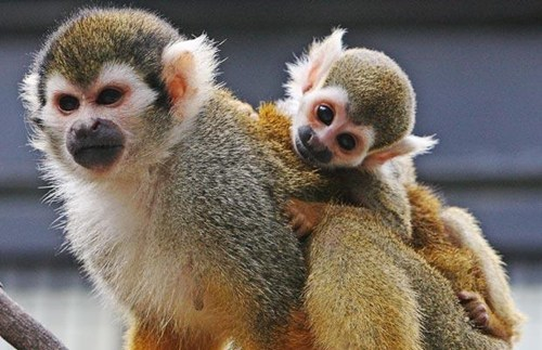 Squee Spree Winner: Squirrel Monkey