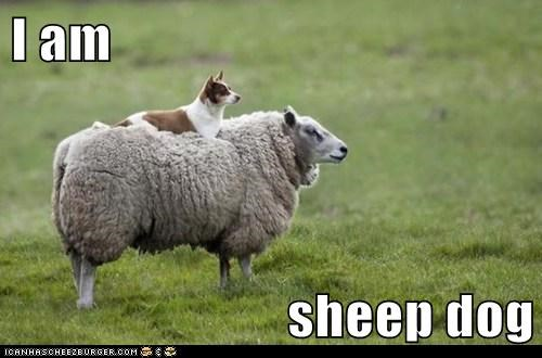 I am  sheep dog