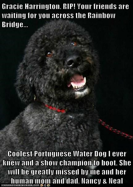 Gracie Harrington, RIP! Your friends are waiting for you across the Rainbow Bridge...  Coolest Portuguese Water Dog I ever knew and a show champion to boot. She will be greatly missed by me and her human mom and dad, Nancy & Neal