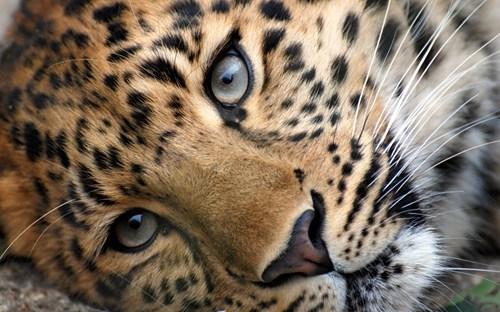 Squee Spree Winner: Leopard