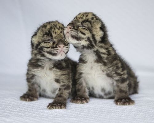 Squee Spree: New Born Leopard Cubs