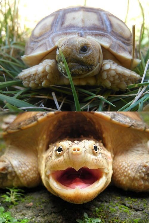 Squee Spree: Tortoise vs. Snapping Turtle
