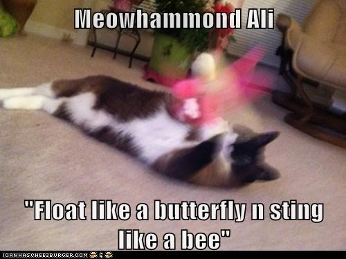 "Meowhammond Ali  ""Float like a butterfly n sting like a bee"""