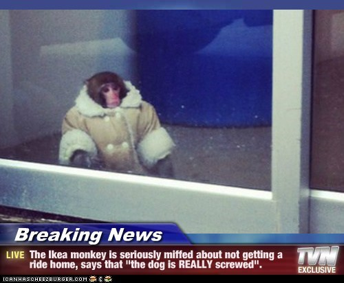 """Breaking News - The Ikea monkey is seriously miffed about not getting a ride home, says that """"the dog is REALLY screwed""""."""