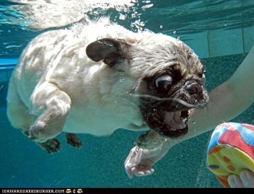 Derpy Pug