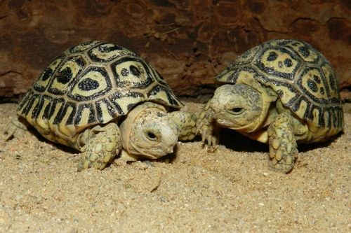 Squee Spree Winner: Tortoise