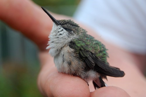 A Young Hummingbird