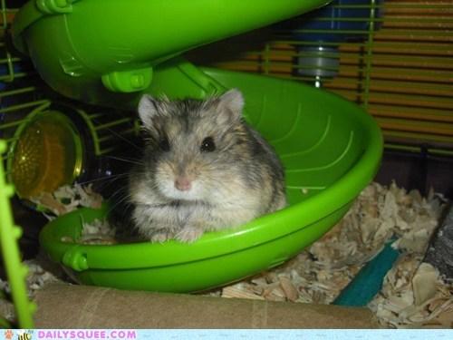 leonidas,hamster