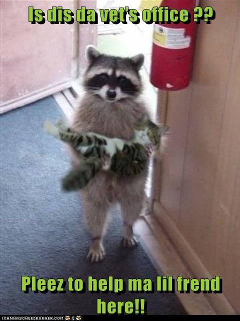 raccoon,cute,carrying,vet,rescue
