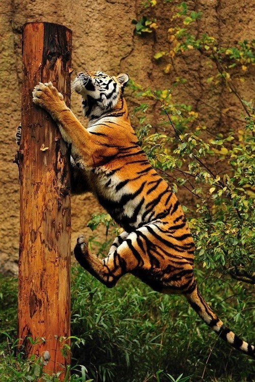 climb,going up,tiger