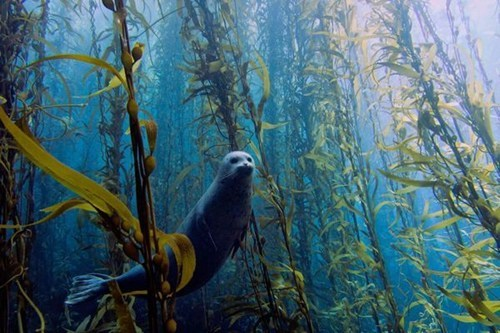 Haunting Seal in a Kelp Forest