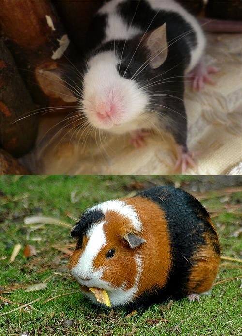 Squee Spree: Mouse vs. Guinea Pig