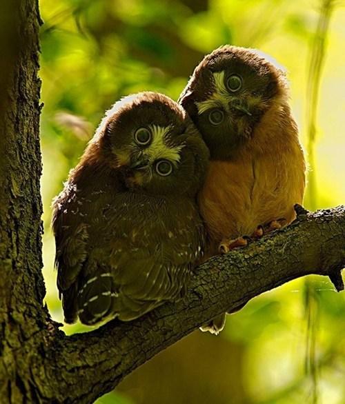 hoot,cuddle,owls