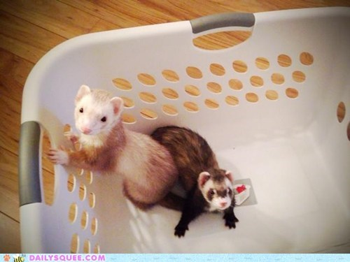 Ferret Laundry Day